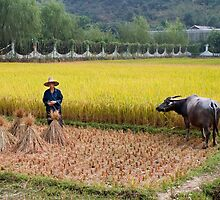 Man and Buffalo in Paddy Field, Guilin, China by hinomaru