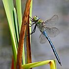 Dragon-Fly at my local pond. by sandmartin