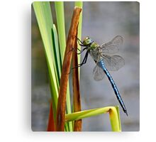 Dragon-Fly at my local pond. Canvas Print