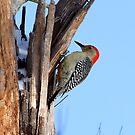 Red Belly Woodpecker by Lolabud