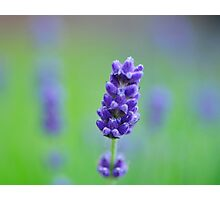 Lavender in green Photographic Print