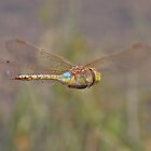 Vagrant Emperor Dragonfly In Flight by Hugh J Griffiths