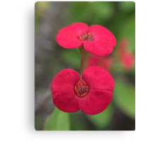 Crown of Thorns, New Growth Canvas Print