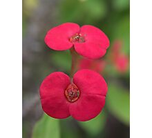 Crown of Thorns, New Growth Photographic Print