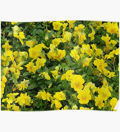 Yellow Pansies Flower Patch Poster