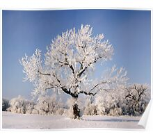 Lone Frosty Cottonwood Poster