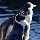 Humboldt Penguin by evilcat