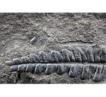 Fossil Plant Photographic Print
