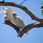 Little Corella Cockatoo by Sherrill Meredith