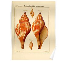 Neues systematisches Conchylien-Cabinet - 241 Poster