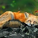 Red Fox Sleeping by Nathan Lovas Photography
