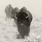 Buffalo Northern Colorado by Jerry Segraves