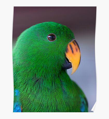Zulu - eclectus parrot Poster