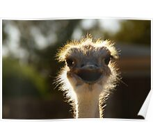 Oudtshoorn Animal Poster