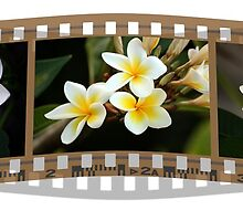 Just your plain 'ol every day white frangipani by Magee