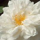 Wild White Rose by art2plunder