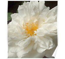 Wild White Rose Poster