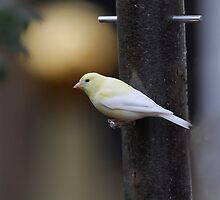 American Goldfinch (leucistic) by Mike Donovan