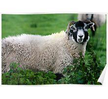 Sheepish  Poster