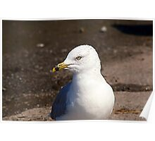 Ring-Billed Gull Poster