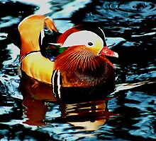 Mandarin Duck by Paul Adkin
