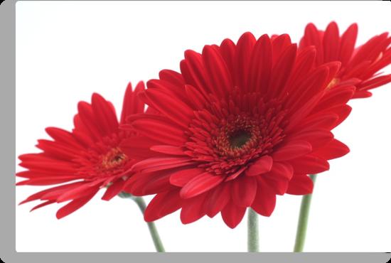 three red gerberas on white background by OldaSimek