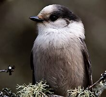 Gray Jay -  Algonquin Park, Ontario - 2 by Michael Cummings