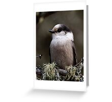 Gray Jay -  Algonquin Park, Ontario - 2 Greeting Card