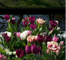 Tulips at Keukenhof by Morag Anderson