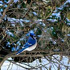 Blue Jay by Lynn Armstrong