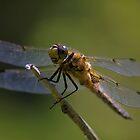 Dragonfly by Jamie Cameron
