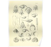 Manual of the New Zealand Mollusca by Henry Sutter 1915 0033 Cavolina Cavolina inflexa Scissurella  Poster