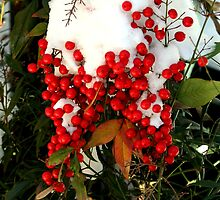 Holly Berries | Nature by laurenmarie