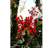 Holly Berries   Nature Photographic Print