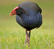 Purple Swamphen by TheGreatContini