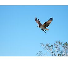 Raptor in the Everglades Photographic Print
