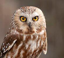 Screech Owl  by WalkingFish