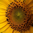 Sunflower by Samuel Gundry