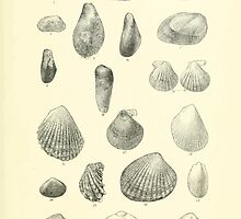 Manual of the New Zealand Mollusca by Henry Sutter 1915 0241 Lima Modiolus Area Malletia Lithophaga Pecten by wetdryvac