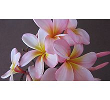 Pink & Yellow Frangipanis. Photographic Print