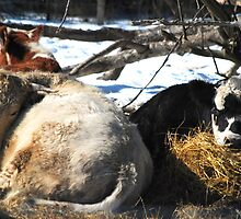 Lazy Cows In The Snow ( Look Comfy HuH?) by madman4