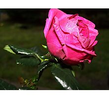 Like Pink Tissue Paper Photographic Print