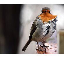 Wind-swept robin. Photographic Print