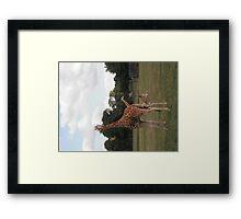 Giraffe 2 Framed Print