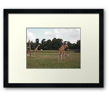 Giraffe 3 Framed Print