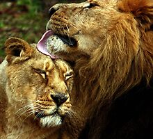 Asiatic Lion kisses. by kkimi88