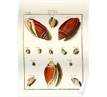 Neues systematisches Conchylien-Cabinet - 147 Poster
