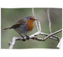 Mr Robin Poster