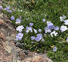 Wild Flowers in Estes Park - Colorado by Kat Simmons