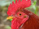 Deb's Rocky The Rooster, for my BEST friend :))) by NatureGreeting Cards ©ccwri